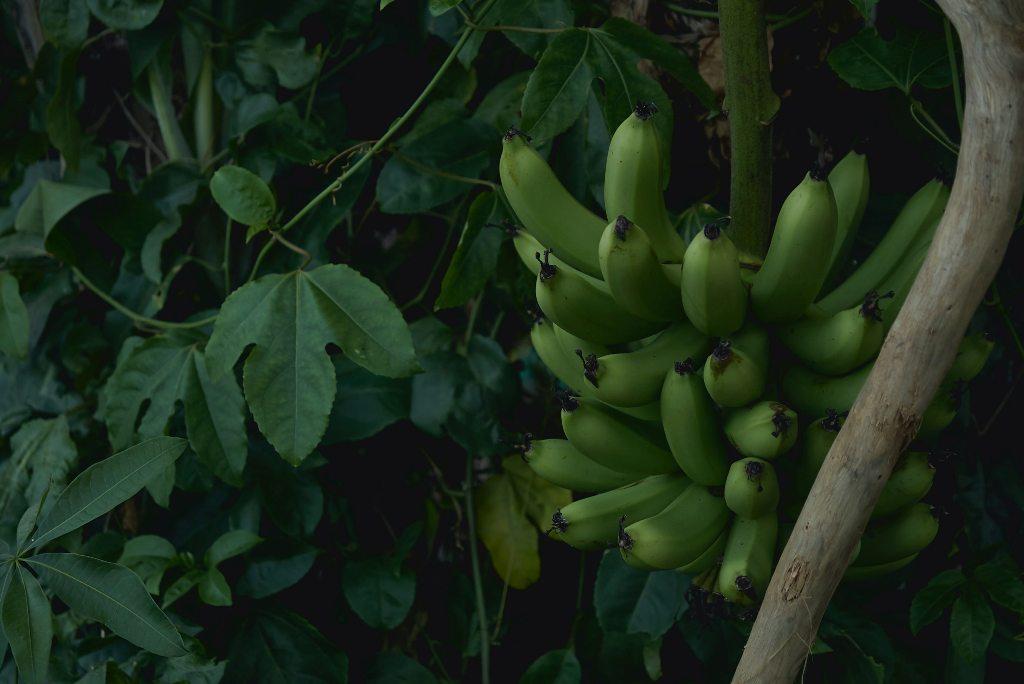 Bananas and opulent plants in Tahiti. (Photo: Tevei Renvoye / Unsplash)